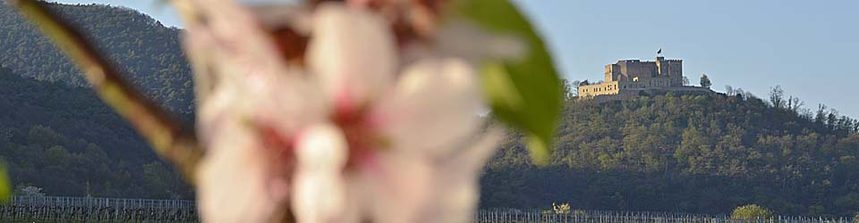 Hambacher Schloss von Maikammer aus, während der Mandelblüte im April